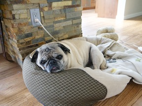 Pug on his bed
