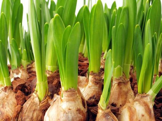 Thinkstock-91828970_forcing-bulbs-paperwhites_s4x3_lg