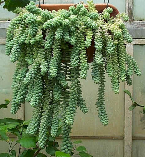 burros_tail