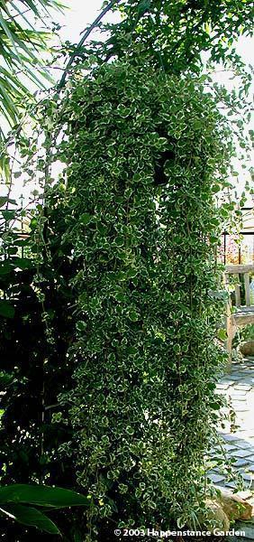 swedish ivy care tips